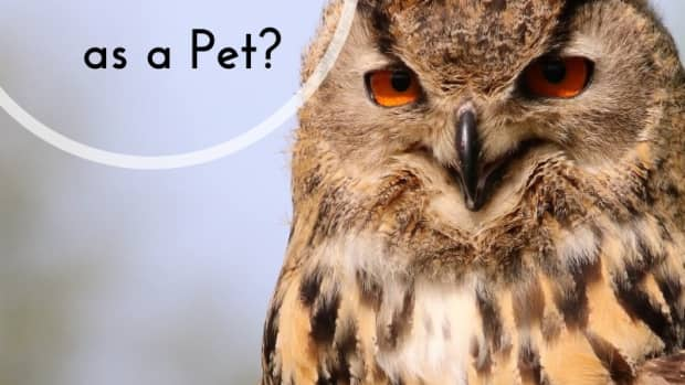 owls-as-pets-care-legal