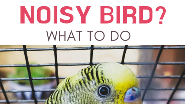 what-to-do-when-your-parakeet-wont-stop-squawking