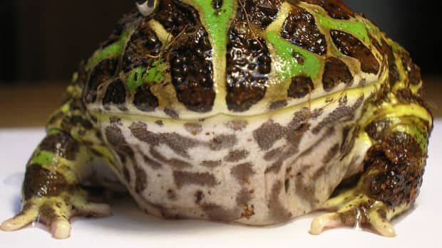 pacman-frog-ornate-horned-frog-care