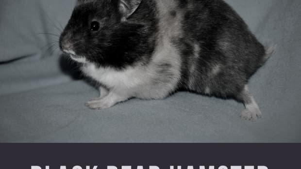 black-bear-hamsters