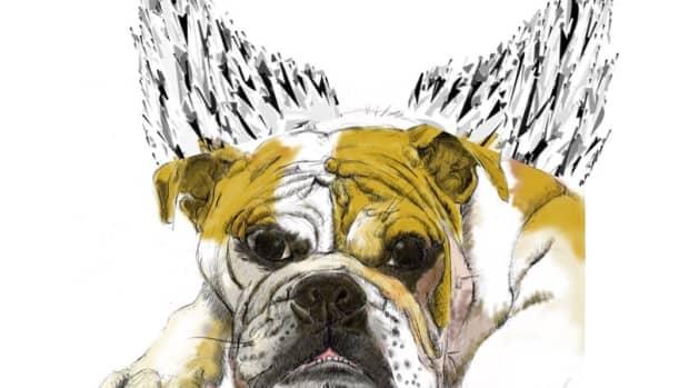 my-english-bulldog