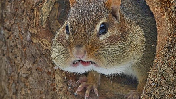 everything-you-always-wanted-to-know-about-chipmunks