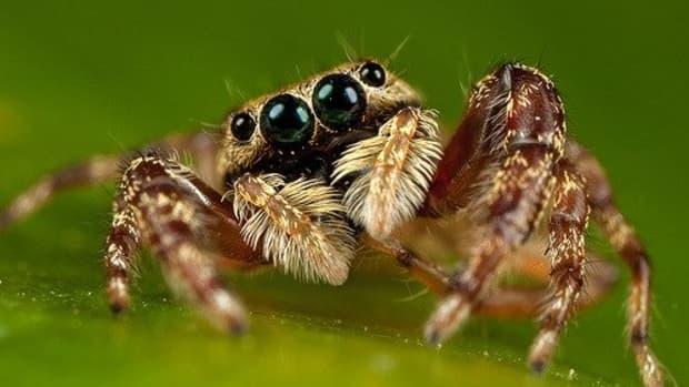 the-portia-spider