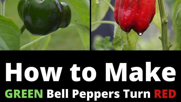 how-to-get-a-green-bell-pepper-to-turn-red