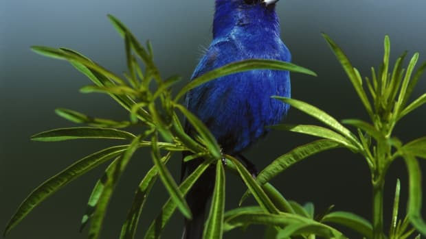 the-indigo-bunting-beautiful-songbird-of-the-americas