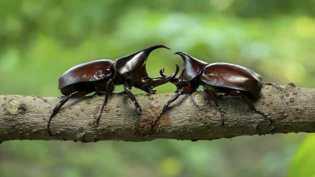 hercules-beetles