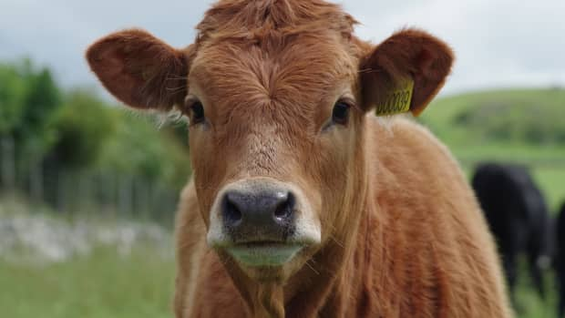 bovine-idioms