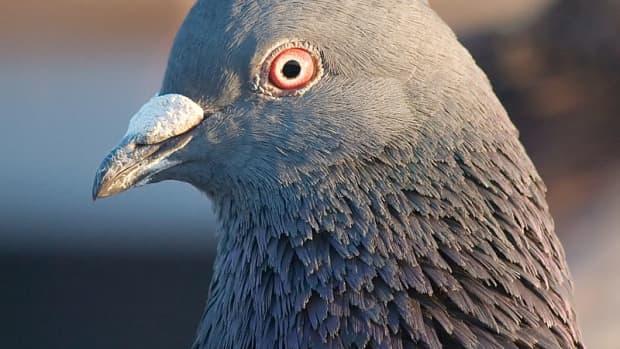 the-pigeon-king-swindle