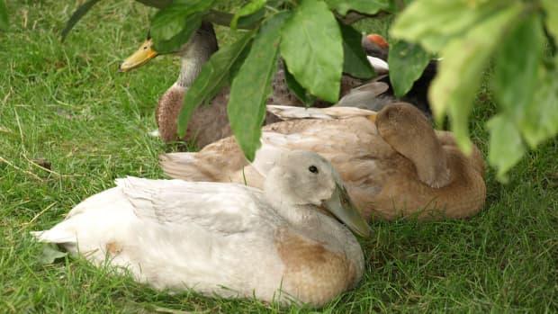 domestic-duck