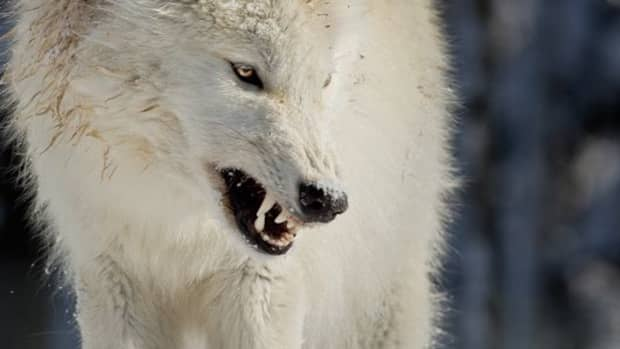tales-from-the-universe-tree-wolves-of-ice-and-fire-part-five-a-wolfs-fury