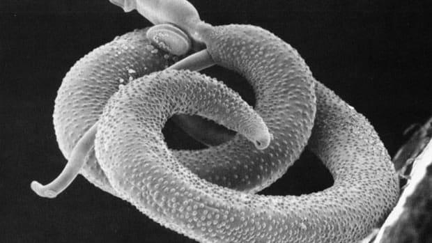 life-history-of-the-blood-fluke-schistosoma-sp