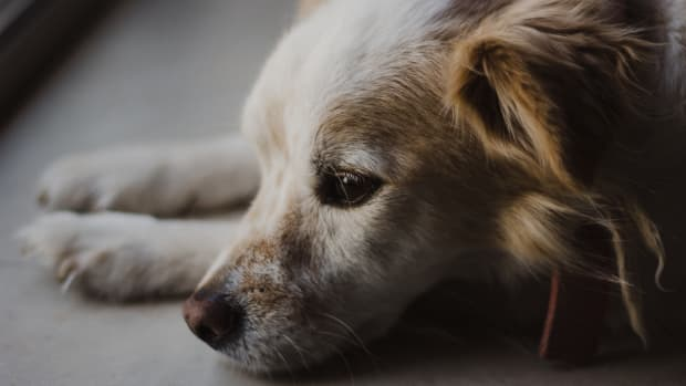 canine-diabetes-questions-and-answers
