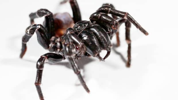 sydney-funnel-web-spiders