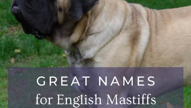 12-great-names-for-your-english-mastiff