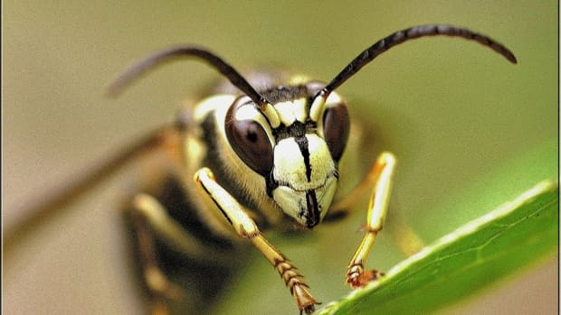 hornets-bees-and-wasps-which-is-which