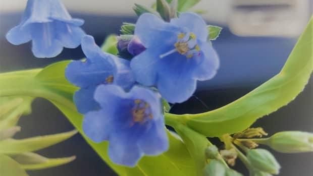 foraging-for-wild-edibles-mountain-bluebells-mertensia-ciliata
