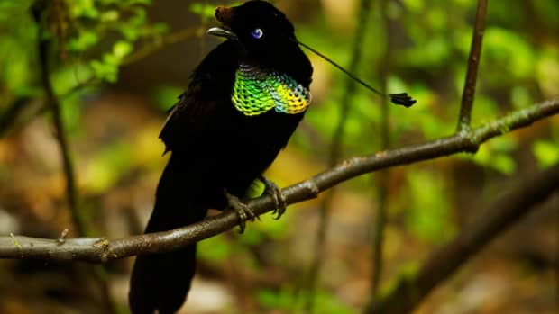 facts-of-the-bird-of-paradise
