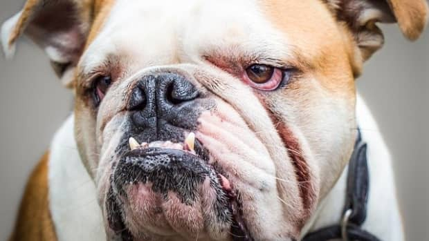 how-to-cure-bulldog-wrinkle-infections-and-prevent-them-in-the-future