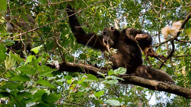 how-do-chimps-hunt