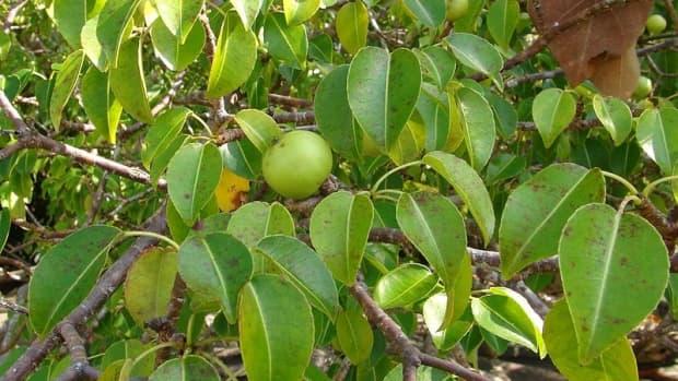 the-manchineel-tree