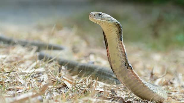 19-awesome-facts-about-king-cobra-snakes