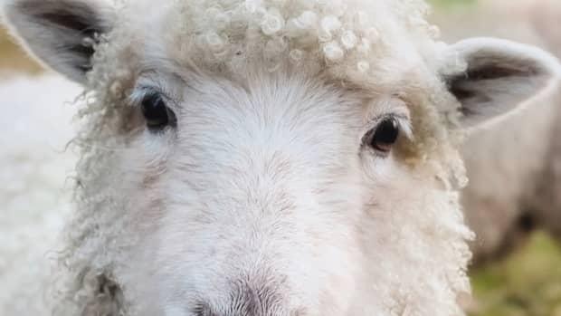 sheep-names