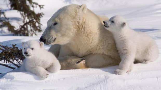 all-about-the-semi-aquatic-polar-bear