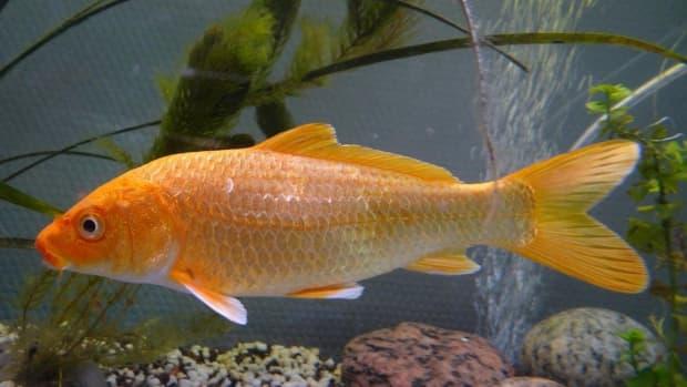 can-i-keep-my-koi-fish-inside