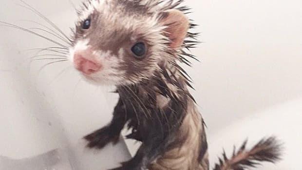 bathing-your-ferret-the-adventure