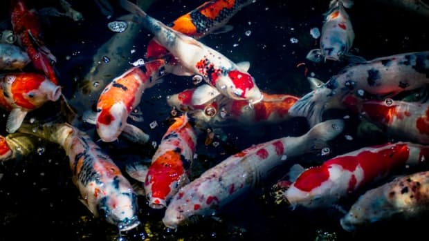 basic-terminology-every-koi-beginner-should-know