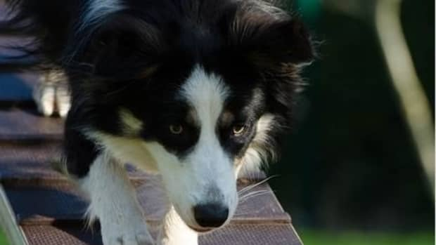 how-to-train-an-older-dog-to-use-a-ramp