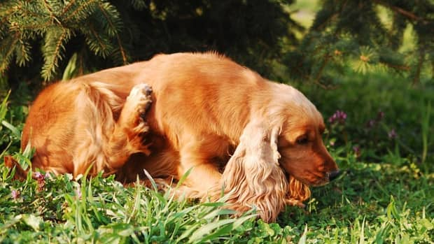 heartworms-in-dogs-mosquitoes-spreading-disease