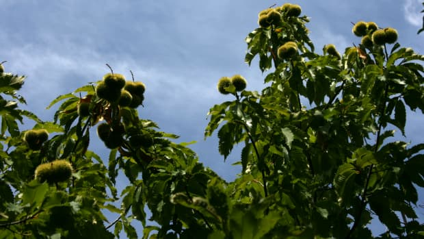 americas-vanished-treasures-the-american-chestnut-tree