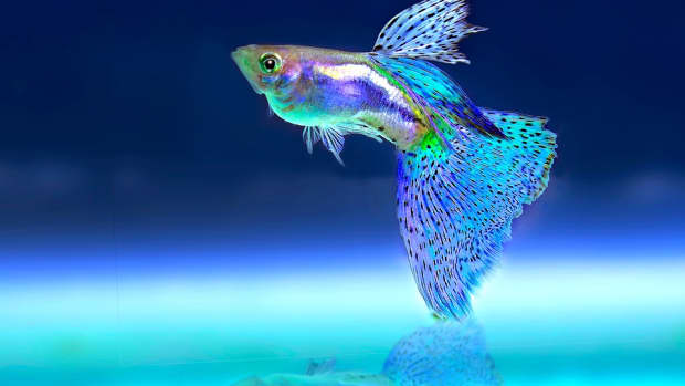 can-i-catch-tuberculosis-from-my-pet-fish