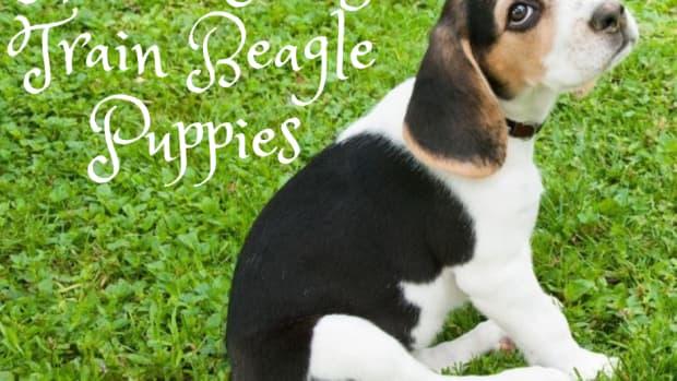 how-to-potty-train-a-beagle-puppy