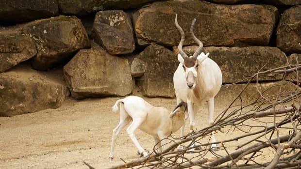 sahara-desert-animals