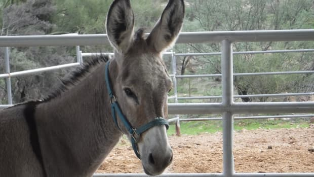 twelve-fascinating-things-you-never-knew-about-donkeys