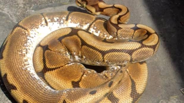 ball-pythons-eat-frozen-dead-prey