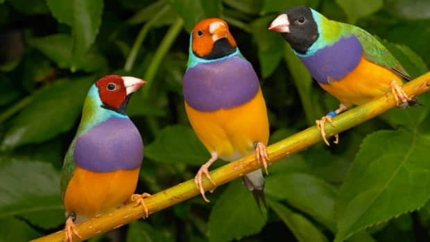 the-gouldian-finch