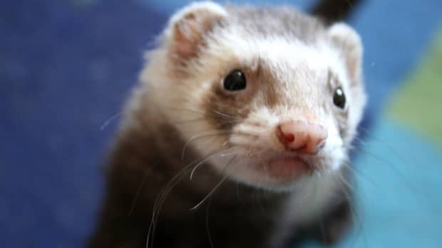 a-ferrets-stomach-anatomy