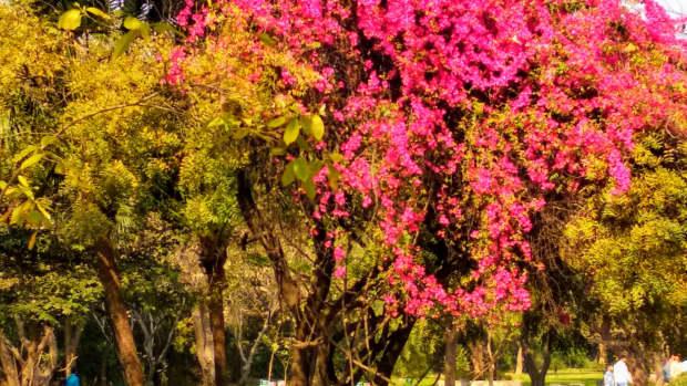 bougainvillea-perennial