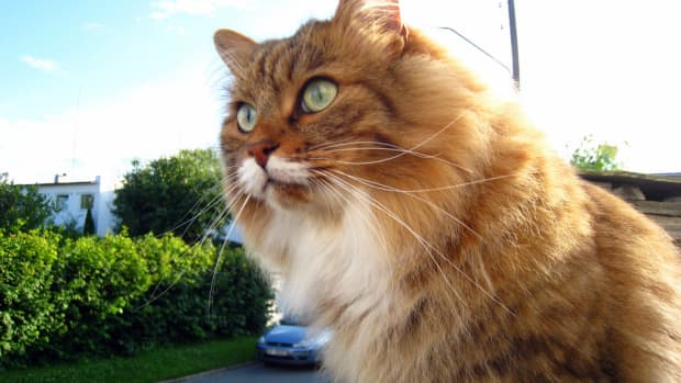 list-of-hypoallergenic-cats