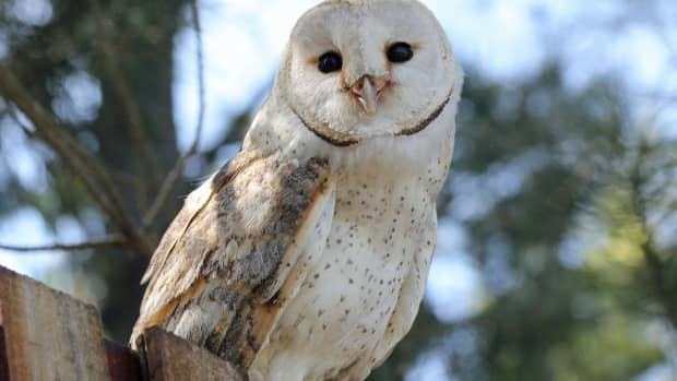 owl-folklore