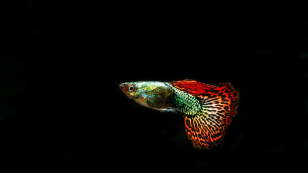 how-to-choose-your-first-guppies