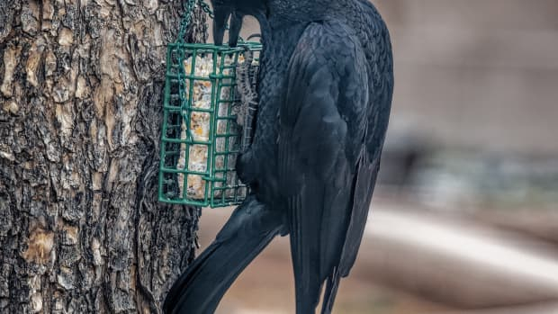 loud-vocal-crows-most-people-either-love-them-or-hate-them
