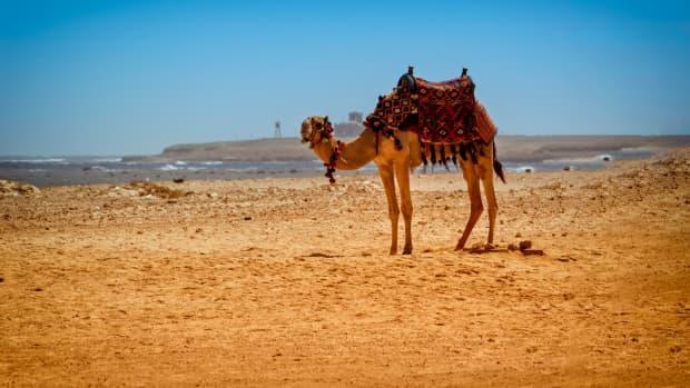 my-camel-my-love
