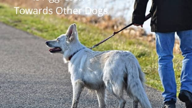 how-to-walk-a-dog-who-is-aggressive-towards-other-dogs