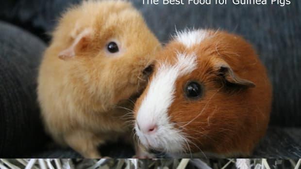the-best-guinea-pig-diet