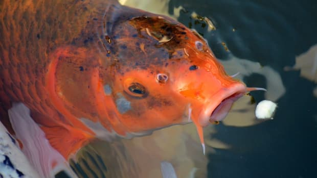 how-to-feed-adult-koi-fish