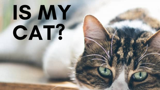 how-to-determine-your-cats-breedsmixed-breeds-to-purebreds